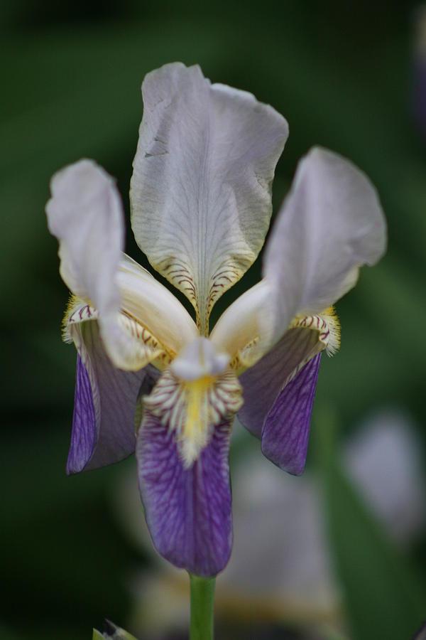 Iris Photograph - Purple And White Iris 2 by George Miller