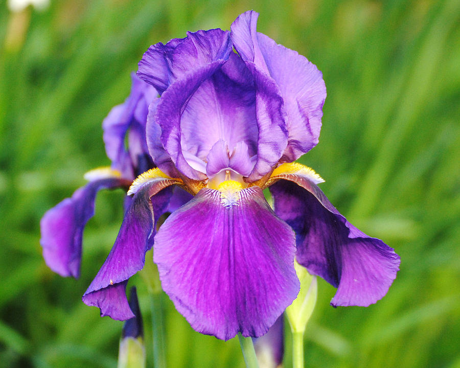 Purple And Yellow Iris Flower Photograph by Jai Johnson