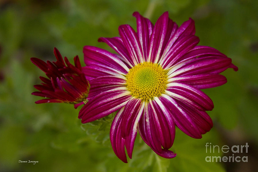 Purple aster flower close up photograph by james bo insogna aster photograph purple aster flower close up by james bo insogna mightylinksfo