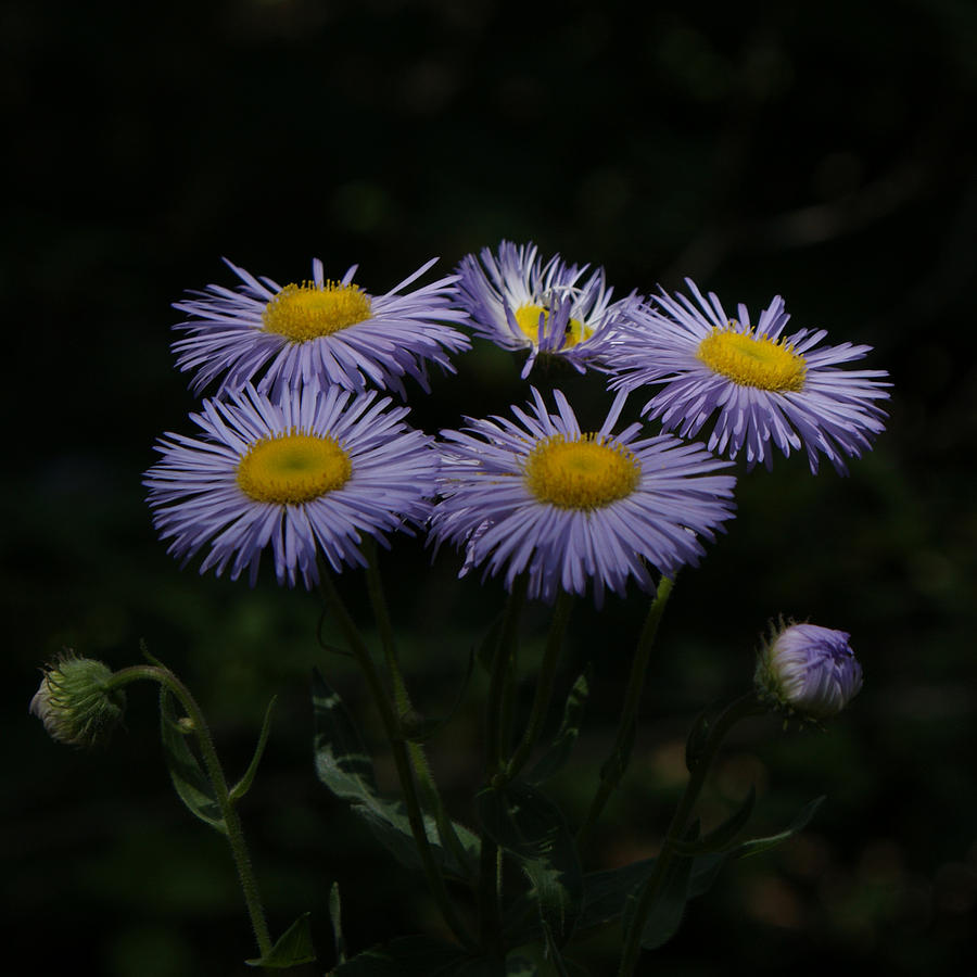 Asters Photograph - Purple Asters by Ernie Echols