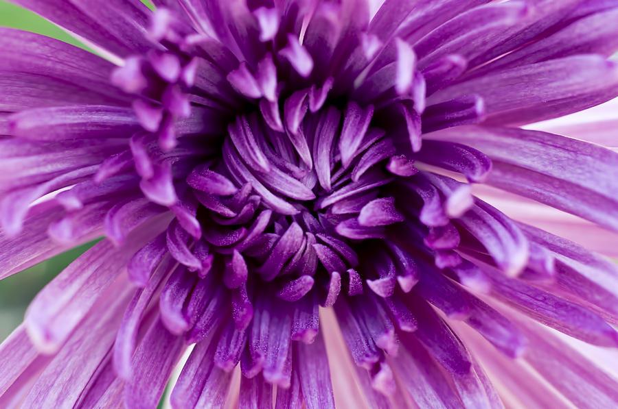 Purple Chrysanthemum Photograph By Joe Carini Printscapes