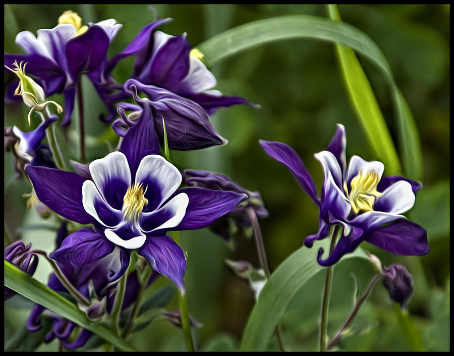 columbine digital art by darlene greydanus, Beautiful flower