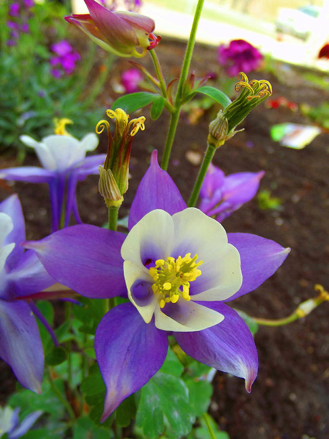 purple columbine flower photograph by robin hewitt, Beautiful flower
