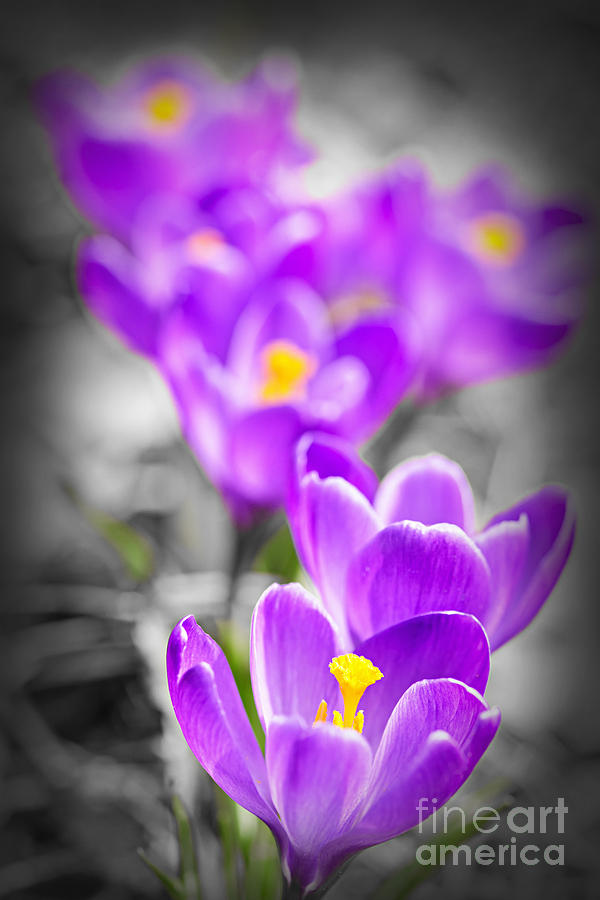 Crocus Photograph - Purple Crocus Flowers by Elena Elisseeva