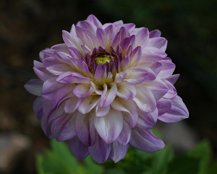 Purple Dahlia Photograph - Purple Dahlia 3 by Ernie Echols