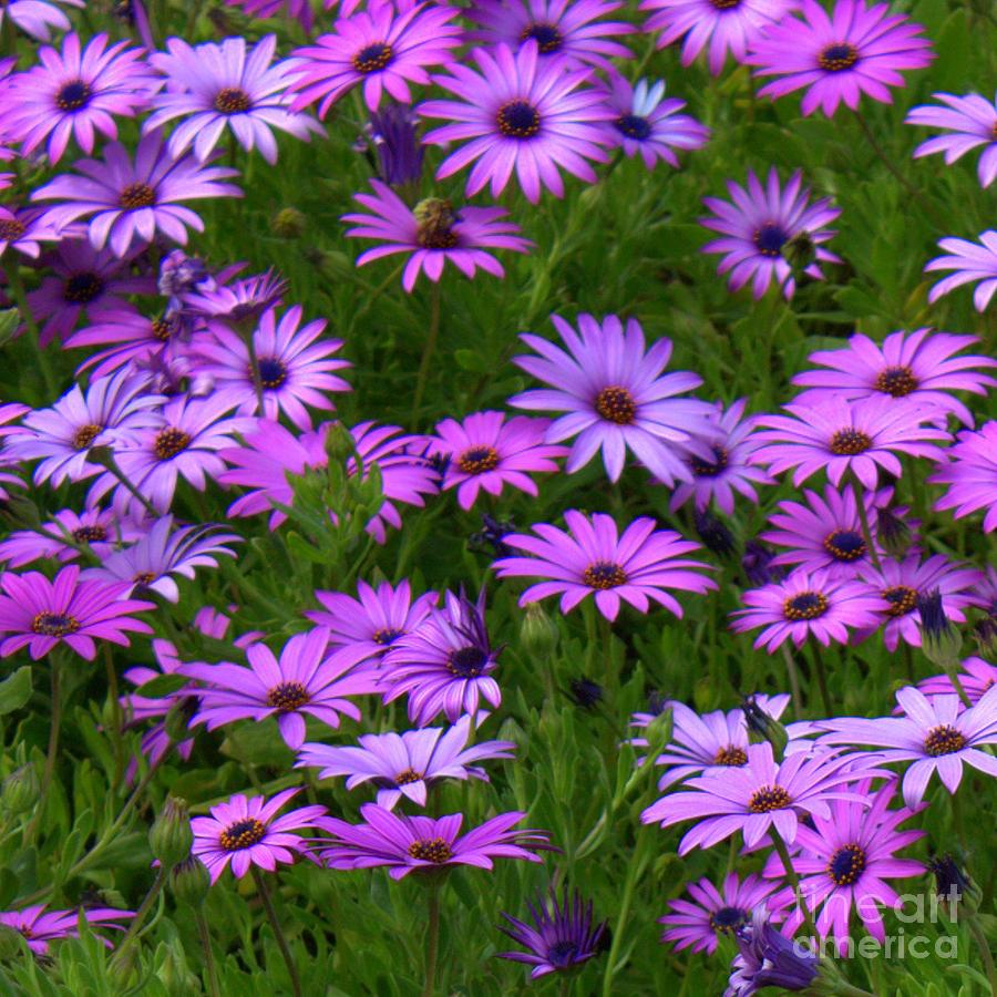Purple Daisies Photograph - Purple Daisies Square by Carol Groenen