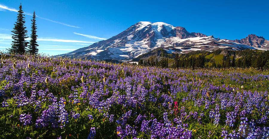 Rainier Photograph - Purple Fields Forever by Mike Reid
