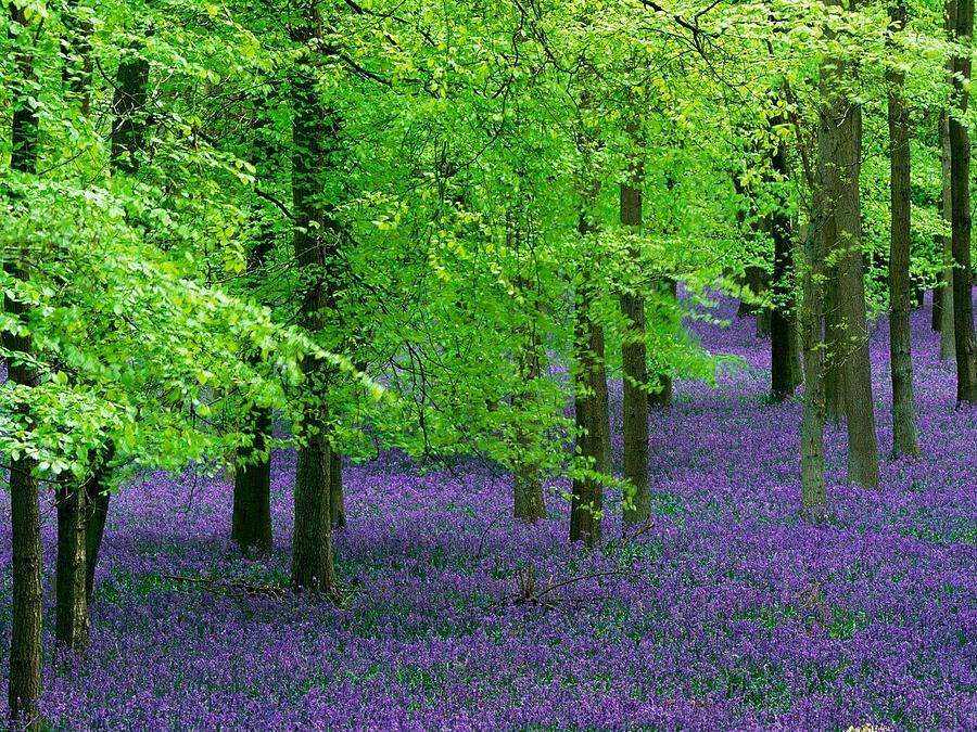 Purple flower carpet for green trees photograph by ilendra vyas mightylinksfo