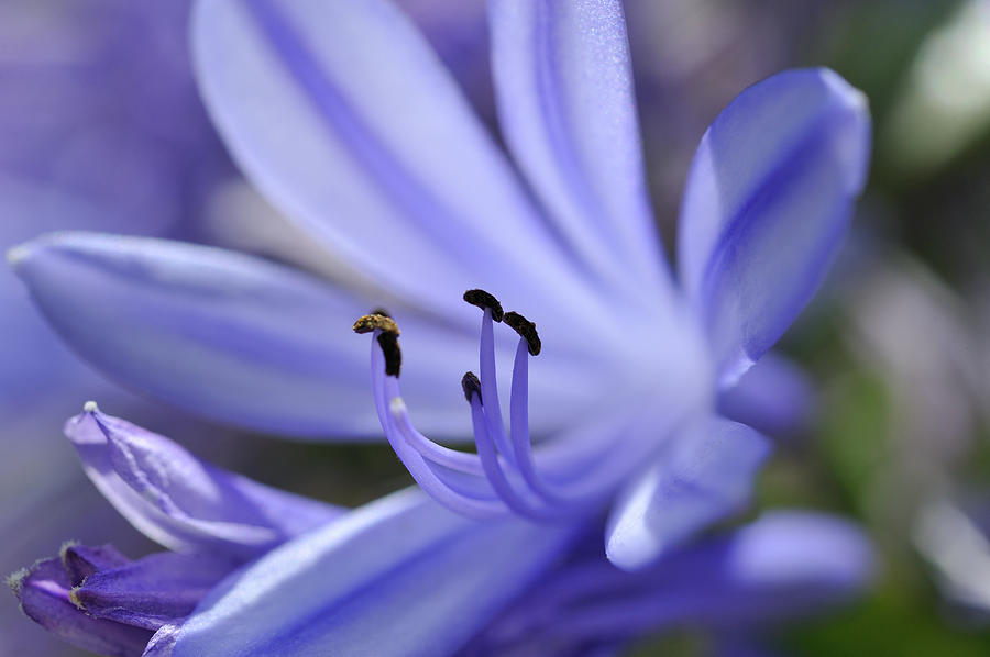 Horizontal Photograph - Purple Flower Close-up by Sami Sarkis