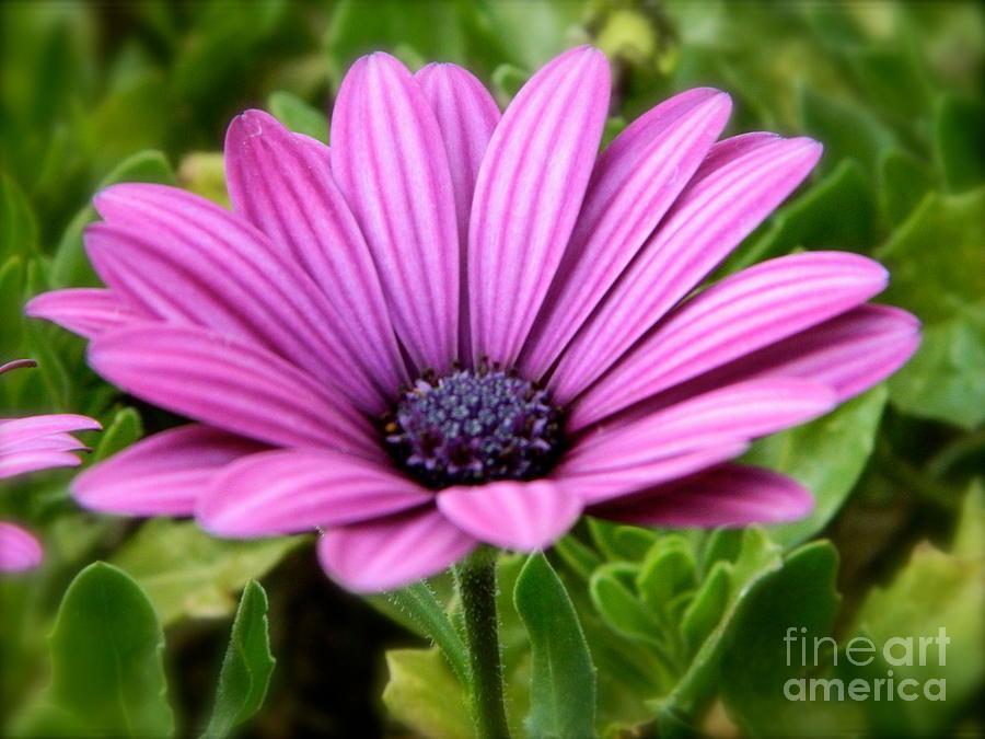 Flower Photograph - Purple Flower by Sara  Mayer