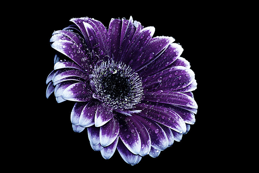 Purple Gerbera Photograph by Fiona Messenger
