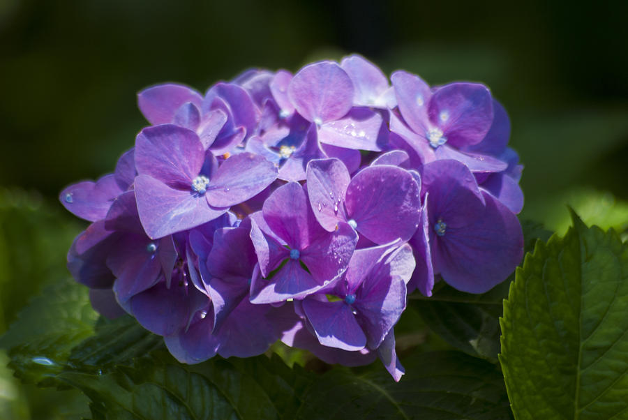 Purple Hydrangea by Jason Pryor