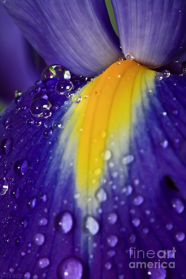 Iris Photograph - Purple Iris by Tracy  Hall