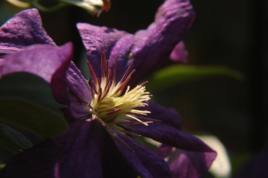 Clematis Photograph - Purple Lady by Wanda Brandon