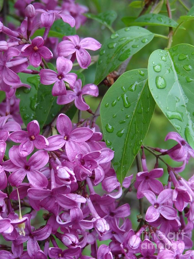 Purple Photograph - Purple Lilac by Laurel Best