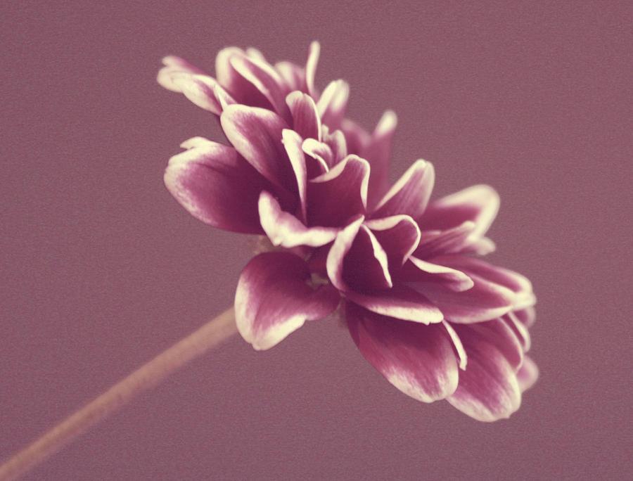 Mums Photograph - Purple Mum by Cathie Tyler