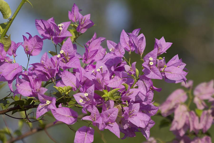 Purple Photograph - Purple Of The Bougainvillea Blossoms by Douglas Barnard