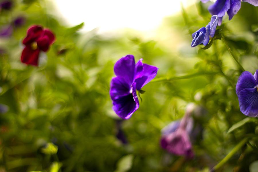 Flower Photograph - Purple Pansy by Benjamin Clark