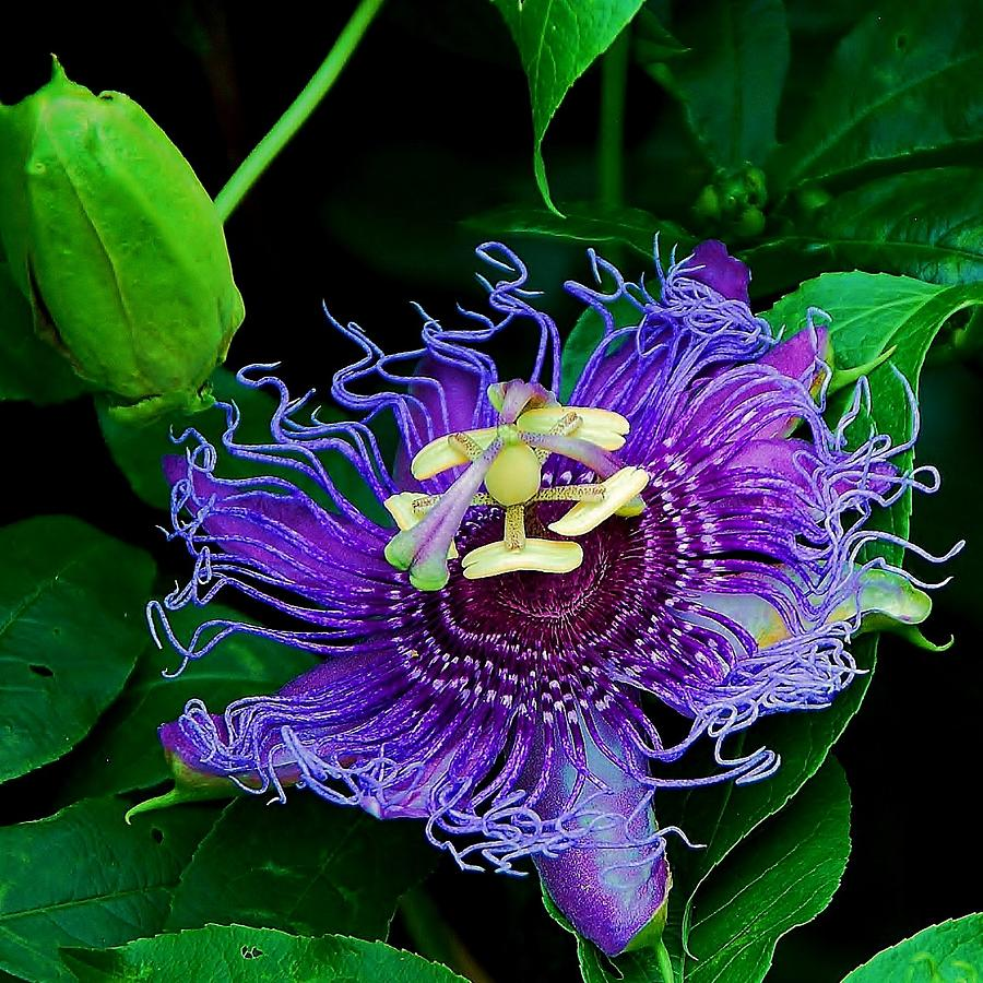 Purple Passion Flower Vine Photograph By Tammy Dial Gray