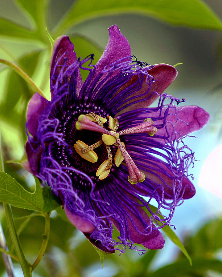 Flower Photograph - Purple Passion by Michelle Harrington