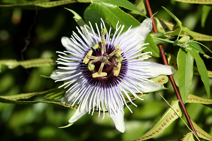 Purple Photograph - Purple Passionflower by April Wietrecki Green