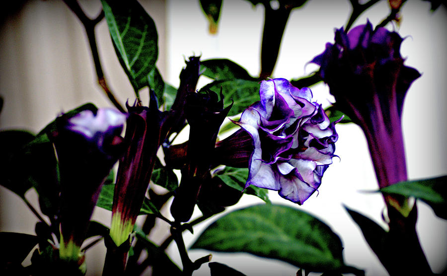 Purple Photograph - Purple People Eater Trumpet Flower by John Wright