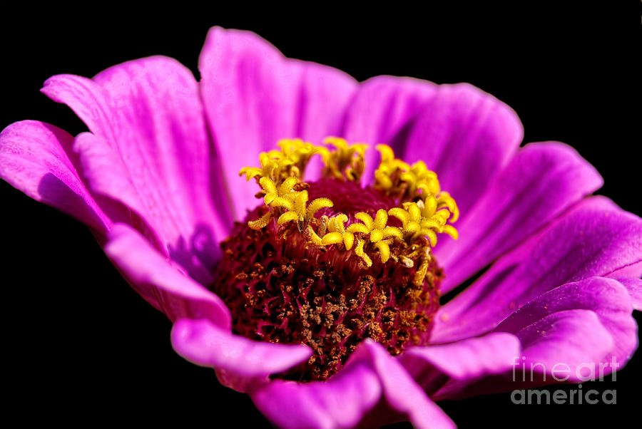 Autumn Photograph - Purple Pink Cosmos by Alexandra Jordankova