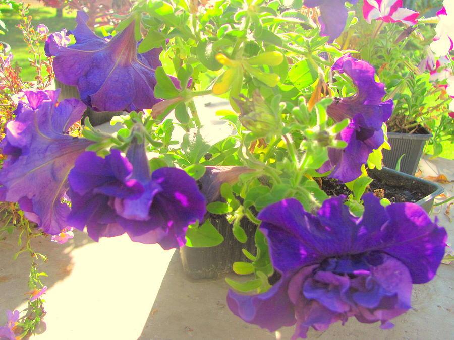 Photograph Photograph - Purple Ruufles by Amy Bradley