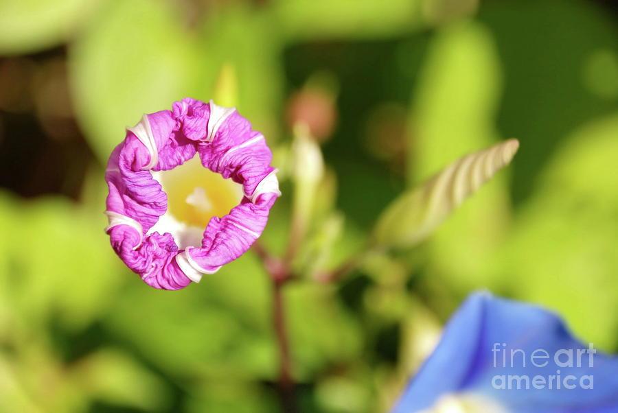 Flowers Photograph - Purple Star by Ken Williams