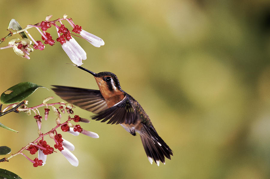 Purple-throated Mountain-gem Hummingbird Photograph by Michael and Patricia Fogden