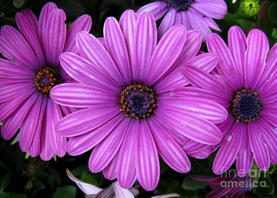 Flower Photograph - Purple Trio by Ashley M Conger