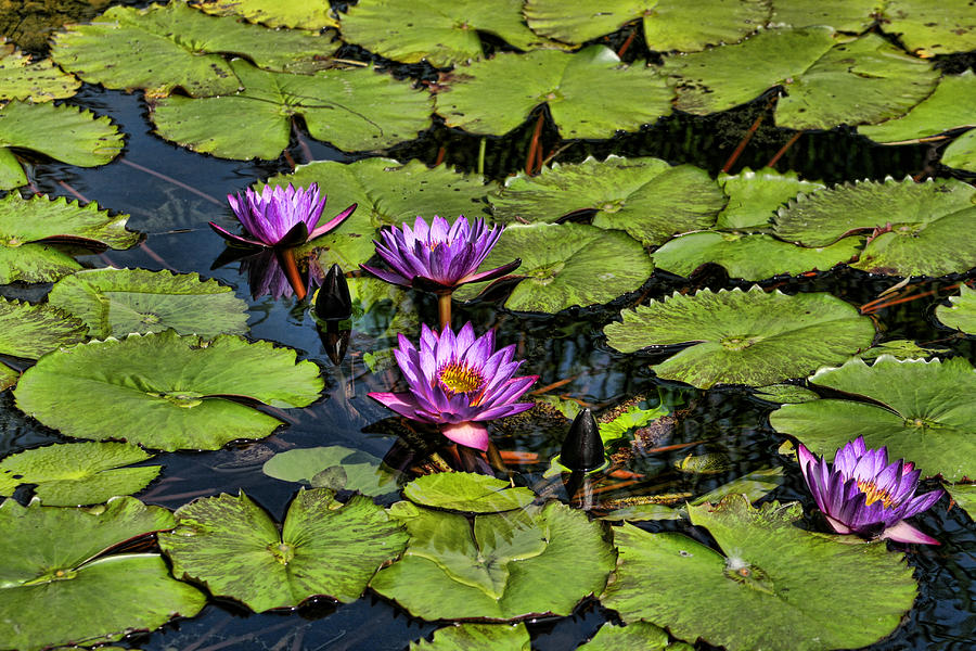 TÌNH YÊU CÂY CỎ  - Page 3 Purple-water-lilies--nymphaea-capensis-kathy-clark