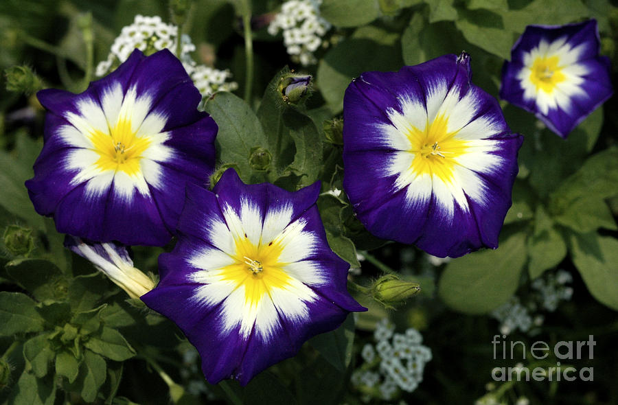 Purple yellow and white flowers photograph by mike nellums mightylinksfo