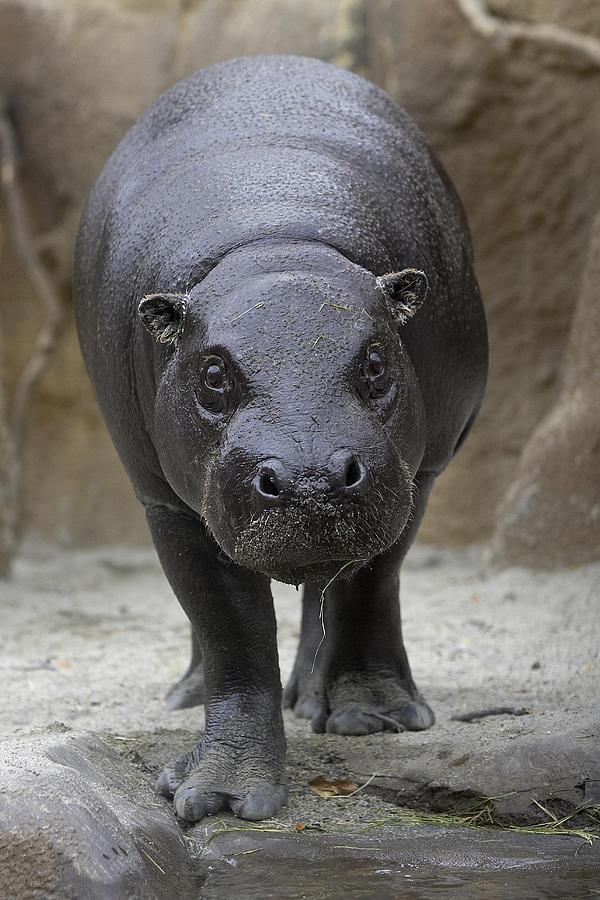 Pygmy Hippopotamus Hexaprotodon Photograph By San Diego Zoo
