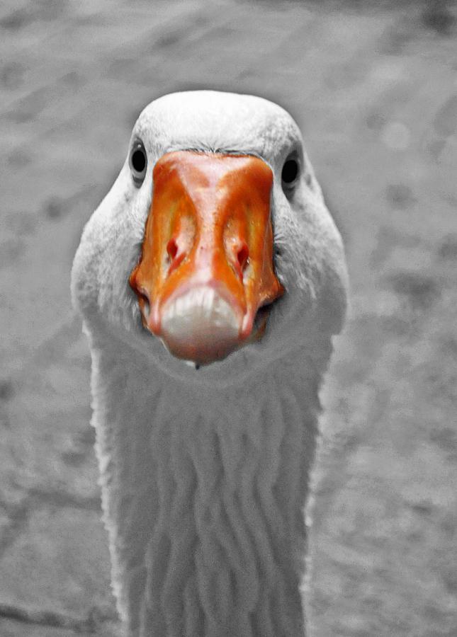 Duck Photograph - Quack by Danielle Del Prado