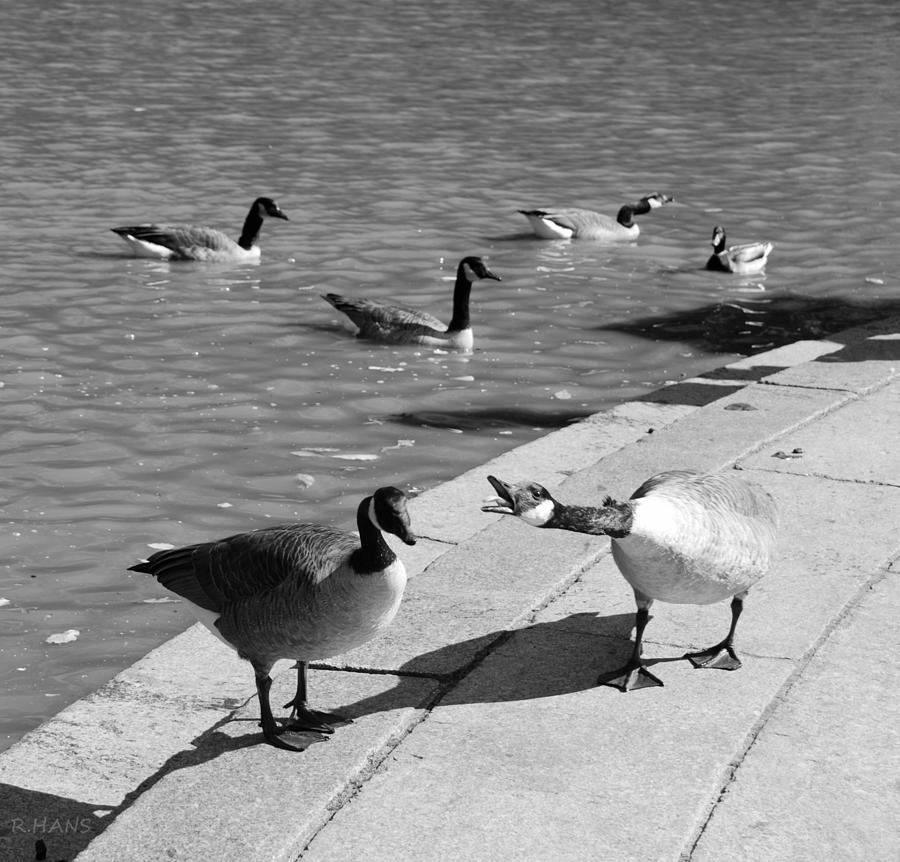 Quack Quack Quack In Black And White Photograph