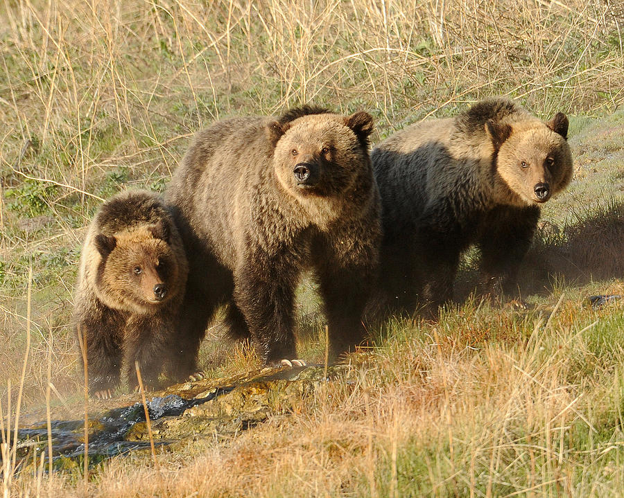 Grizzly Bear Photograph - Quad Mom At Mammoth Terraces I by Amy Gerber