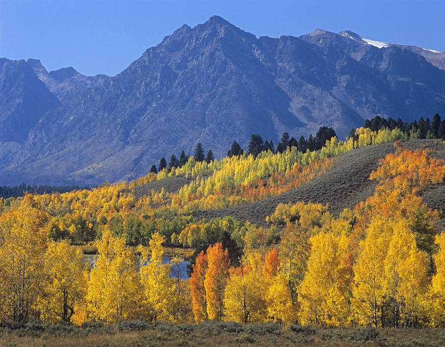 Quaking Aspen Forest In Autumn Photograph By Tim Fitzharris