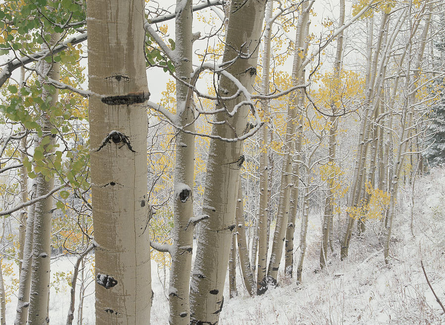 Quaking Aspen Trees With Snow Gunnison Photograph by Tim ...