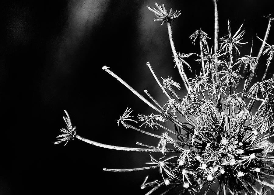 Queen Anne's Lace Photograph - Queen Annes Lace - 2 by John Girt