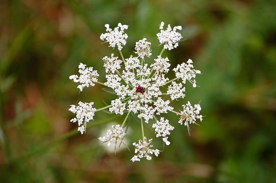 Queen Anne's Lace by Mary McAvoy