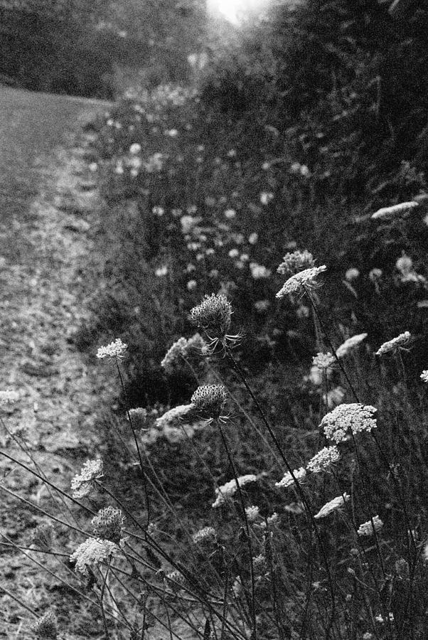 Queen Anne's Lace Photograph - Queen Annes Lace On Beachcrest Drive In Neskowin Oregon by Christina Weber
