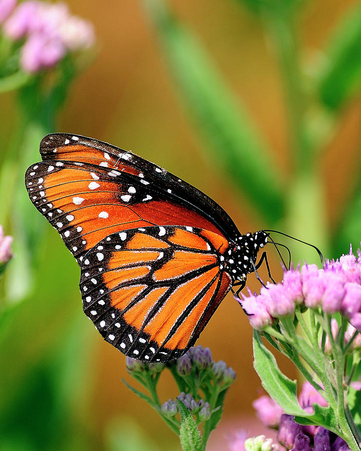 Butterfly Photograph - Queen Butterfly by Bill Dodsworth