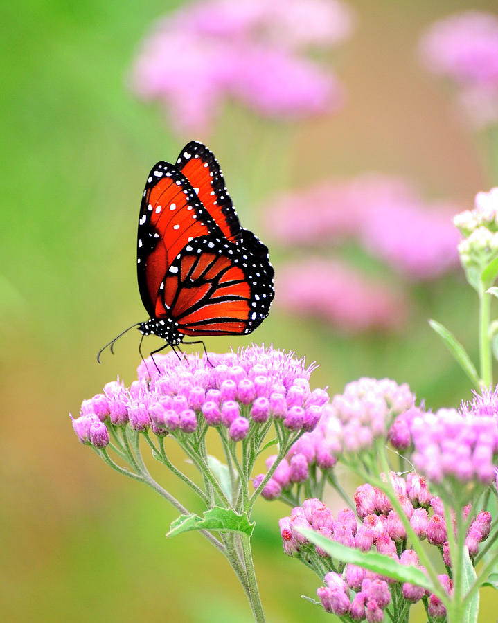 Queen Butterfly Photograph - Queen Butterfly Sitting On Pink Flowers by Bill Dodsworth