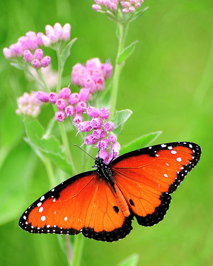 Queen Butterfly Photograph - Queen Butterfly Wings With Pink Flowers by Bill Dodsworth
