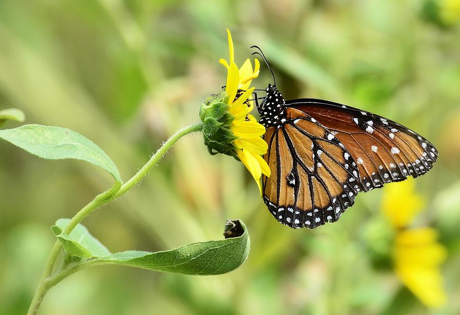 Queen Butterfly Photograph - Queen For A Day  by Saija  Lehtonen