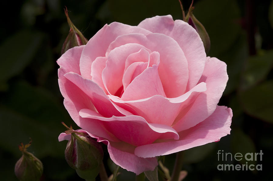 Queen Of England Rose Photograph By Image It Foto