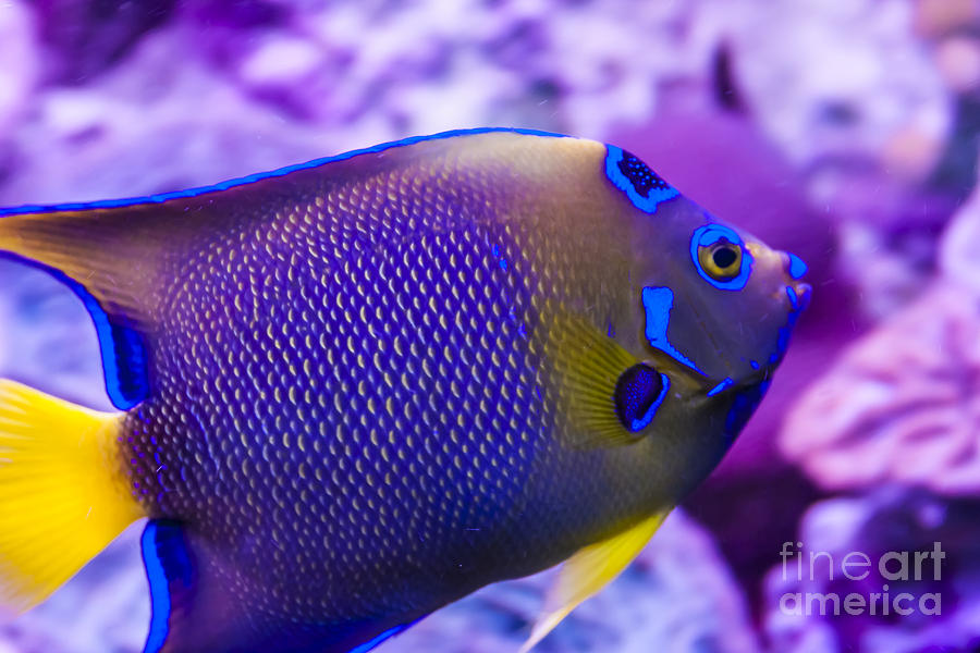 Ocean Photograph - Quenn Angelfish by Scotts Scapes