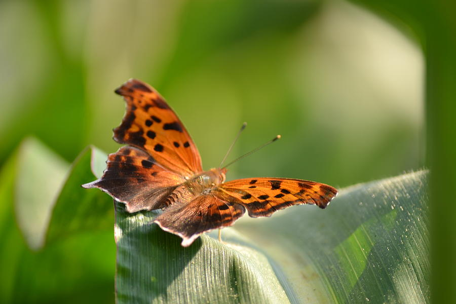 Butterfly Photograph - Question Mark Butterfly by JD Grimes