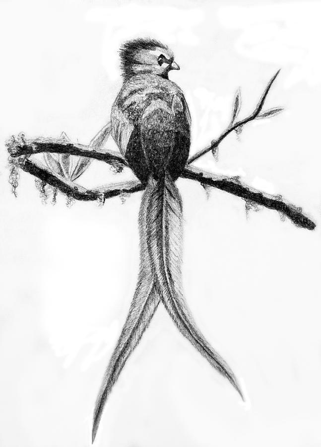 Quetzal Drawing By Sara Coolidge